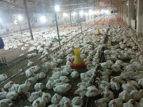 فروش مرغداری گوشتی آمل | شمال فروش مرغداری گوشتی آمل | مازندران فروش مرغداری گوشتی آمل | فروش مرغداری گوشتی آمل در مازندران | فروش مرغداری گوشتی آمل کاملا مدرن | فروش مرغداری گوشتی آمل کاملا مکانیزه